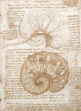 "Картина ""drawing of the uterus of a pregnant cow"" художника ""да винчи леонардо"""