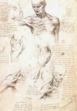 """Репродукция картины """"Anatomical studies of a male shoulder"""" художника """"да Винчи Леонардо"""""""