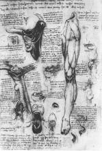 """Копия картины """"Anatomical studies (larynx and leg)"""" художника """"да Винчи Леонардо"""""""
