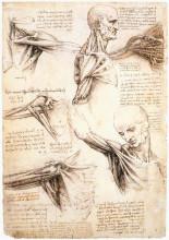 "Копия картины ""Anatomical studies of the shoulder"" художника ""да Винчи Леонардо"""